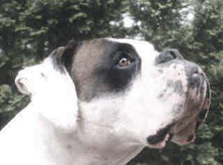 hund boxer rassen