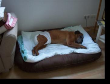 ehemaliges sorgenkind arthos boxer nothilfe deutschland e v. Black Bedroom Furniture Sets. Home Design Ideas